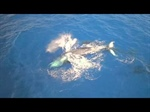 Humpback whales in Hawaii from a drone