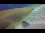 Tiger Shark vs. GoPro